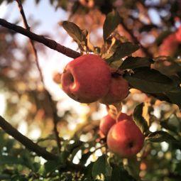 Apfel im herbst