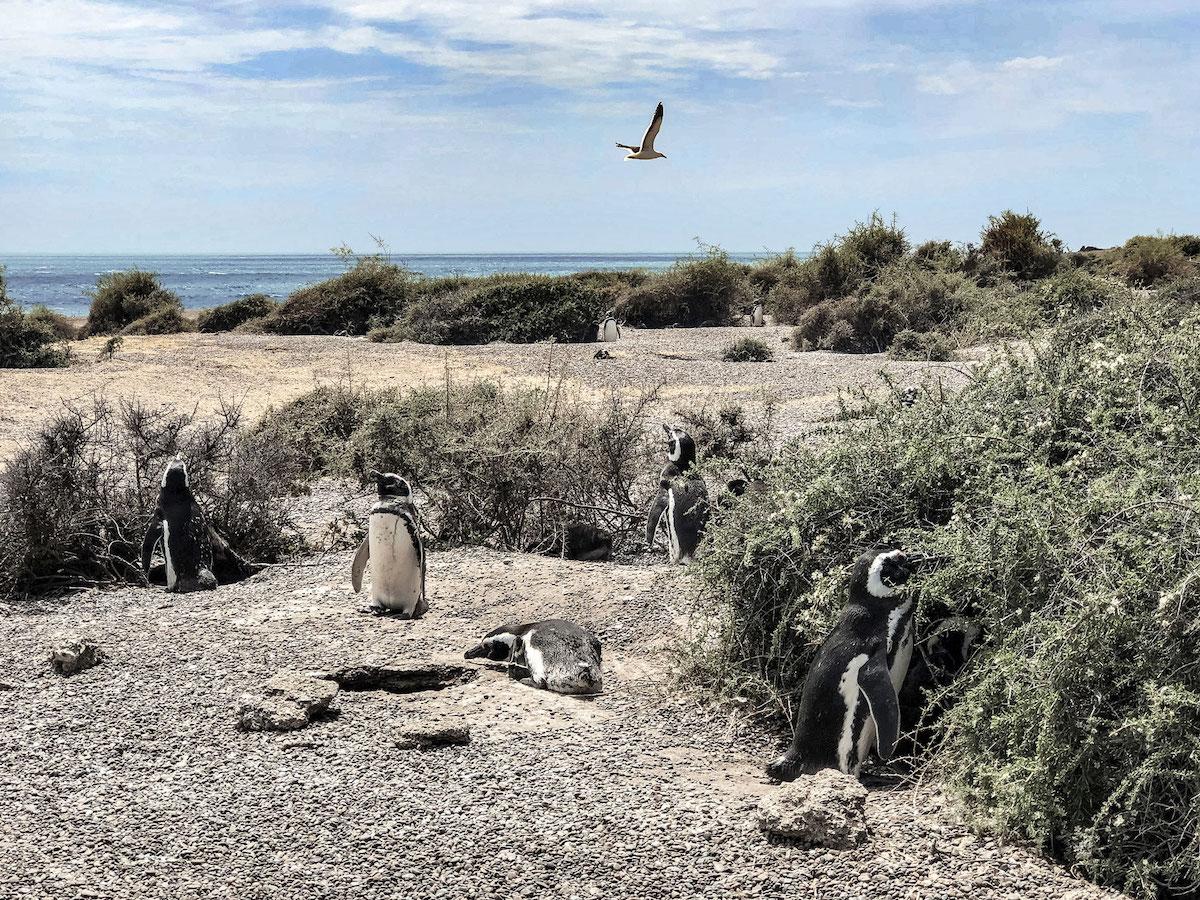 Pinguine auf der Halbinsel Valdez