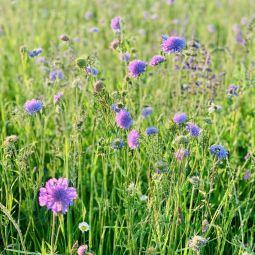 Wildblumenwiese 4