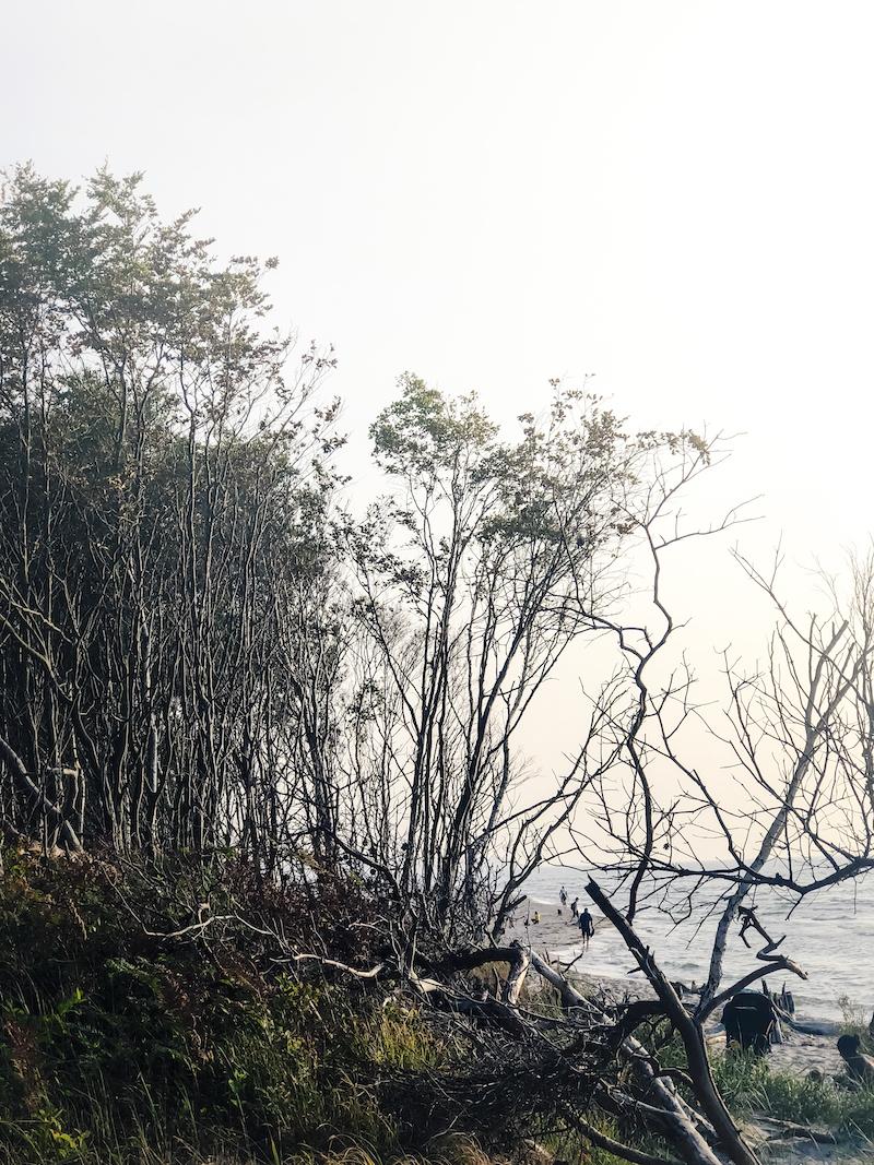 Urwald am Weststrand auf Fischland-Darss-Zingst