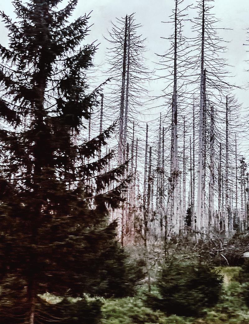 Texterella besucht den Harz: Silbrige Baumgerippe als Zeichen des Klimawandels