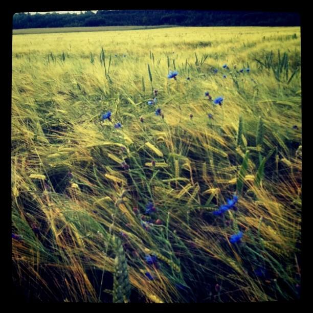 Ein Getreidefeld mit wunderschönen Kornblumen