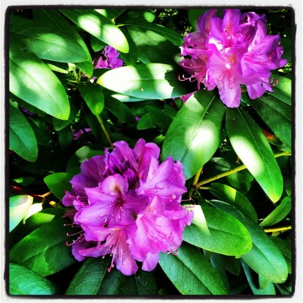 Rhododendron-Blüten in Großaufnahme